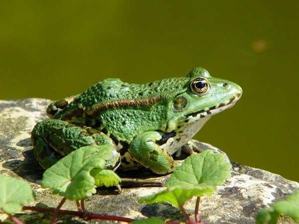 Ý nghĩa giấc mơ thấy ếch là điềm báo lành hay dữ?